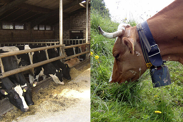 On the left side, cows are eating concentrate feed in the stables. On the right side there`s a cow on a pasture eating grass.
