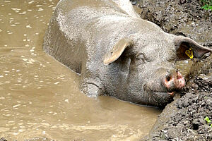 Pig enjoys a mud bath