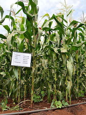 "Close-up of several large maize plants on a field with red soil and an irrigation hose. A sign in the ground displays the following details: ""Treatment: Organic High; Crop: Maize (H513); Inputs: 96KG N/ha, 55Kg P/ha; Planting date: 12/4/2016."""
