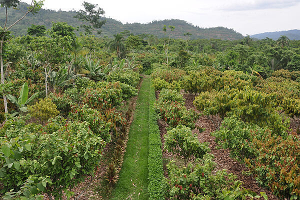 On the left, cacao trees are grown in an agroforestry system with, among others, banana trees, palm trees and timber trees; on the right, cacao trees are grown in a monoculture.