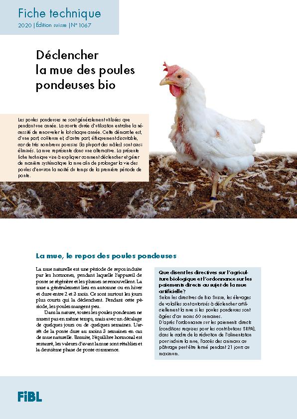Déclencher la mue des poules pondeuses bio