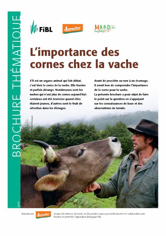 L'importance des cornes chez la vache